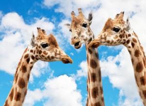 giraffes-627031_960_720